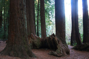 Natural Redwood ring of decomposition